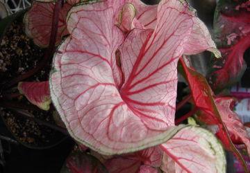 South American caladium plant (Caladium Seguinum)